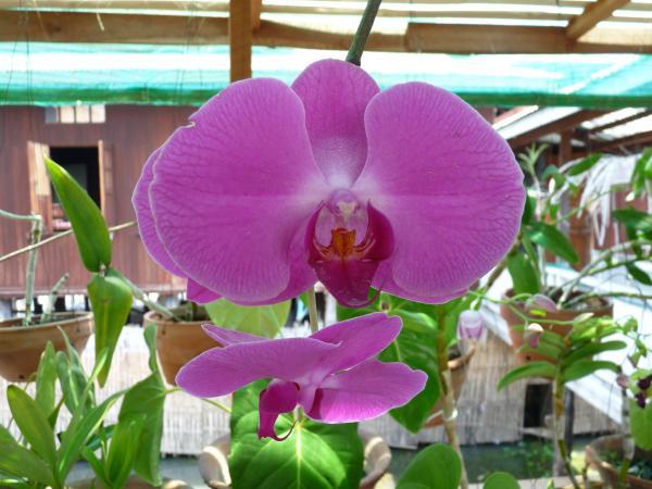 Birmanie - Lac Inle : Une belle orchidée