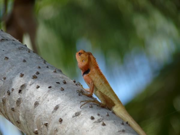 Thaïlande - Koh Phangan : Chamaeleonidae