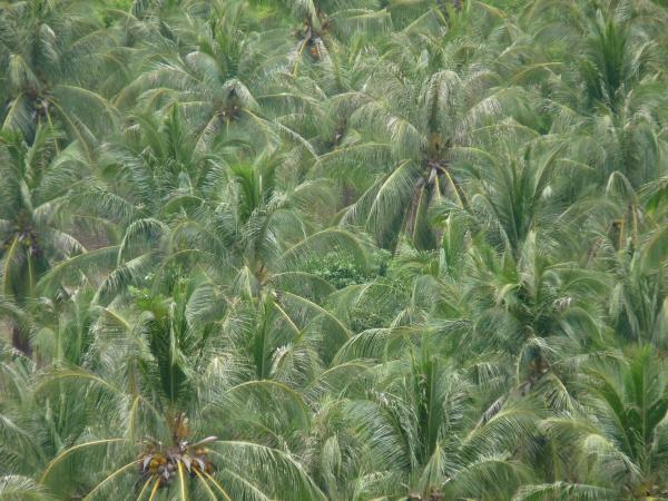 Thaïlande - Koh Tao : Cocotiers