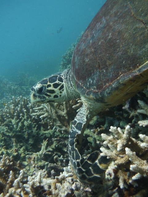 Malaisie - Ile de Tioman : Tortue de mer