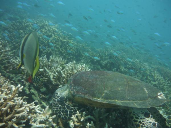 Malaisie - Ile de Tioman : Tortue de mer et Poisson ange
